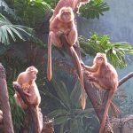 360px-Ebony_Langur_Javan_Lutung_Trachypithecus_auratus_at_Bronx_Zoo_3
