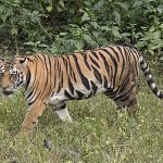 480px-Bengal_tiger_(Panthera_tigris_tigris)_female_3_crop
