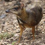480px-Tragulus_javanicus_jerusalem_zoo