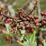 Andaliman-gambar-greeners.co_Rutaceae