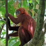 Red_leaf_monkey_(Presbytis_rubicunda)