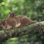Dwarf Cuscus (Strigocuscus celebensis) mother and young in the rainforest, Tangkoko-Dua Saudara Nature Reserve, Sulawesi Indonesia