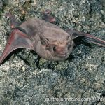 Indonesian Tomb Bat