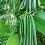 Vanili-gambar-kompas.id_Vanilla planifolia)