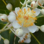 Calophyllum_inophyllum