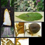 Diospyros macrophylla