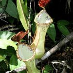 Nepenthes eustachya