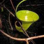 Nepenthes inermis