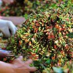 Sejumlah pekerja menyortir hasil panen cengkeh di pos penimbangan, Songgon, Banyuwangi, Jawa Timur, Selasa (3/11). Petani berharap, pemerintah tidak melakukan impor cengkeh karena dapat mempengaruhi harga cengkeh lokal yang saat ini menembus harga Rp100 ribu per kilogram. ANTARA FOTO/Budi Candra Setya/foc/15.