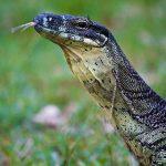 480px-Lace_Monitor_in_Tamborine_National_Park,_Cedar_Creek_Falls,_Queensland,_Australia