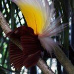 600px-Paradisaea_apoda_-Bali_Bird_Park-7