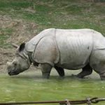 baja09-Rhinoceros sondaicus-
