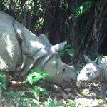 baja12-Javan Rhino